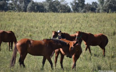OUR POLO PONIES